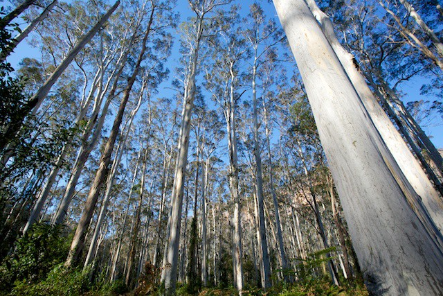Blue Gum Forest Walk